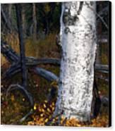 Birch Autumn 3 Canvas Print by Ron Day