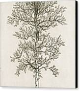 Birch Tree Canvas Print by Charles Harden