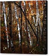 Birch Trees In The Fall Canvas Print by Kathy DesJardins