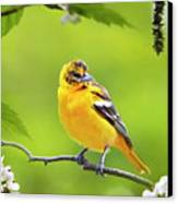 Bird And Blooms - Baltimore Oriole Canvas Print