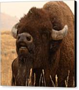 Bison Bellowing At The Sky Canvas Print