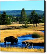 Bison Canvas Print by Carrie Putz