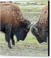 Bison Standoff Canvas Print