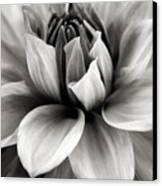 Black And White Dahlia Canvas Print by Danielle Miller