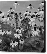 Black And White Susans Canvas Print