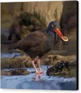 Black Oyster Catcher Canvas Print