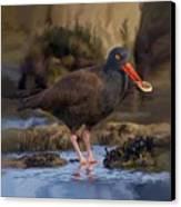 Black Oyster Catcher Canvas Print