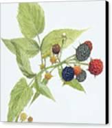 Black Raspberries Canvas Print