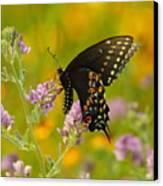 Black Swallowtail Canvas Print by Robert Frederick