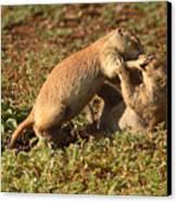 Black-tailed Prairie Dogs Wrestling Around Canvas Print