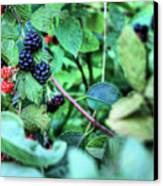 Blackberry  Canvas Print by JC Findley