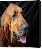 Bloodhound - Governed By A World Of Scents Canvas Print by Christine Till