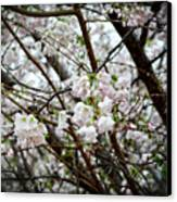 Blooming Apple Blossoms Canvas Print by Eva Thomas