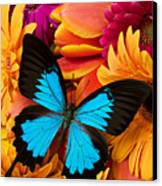 Blue Butterfly On Brightly Colored Flowers Canvas Print by Garry Gay