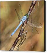 Blue Dragonfly Portrait Canvas Print by Carol Groenen