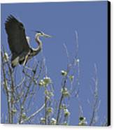 Blue Heron 35 Canvas Print by Roger Snyder