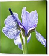 Blue Iris Germanica Canvas Print by Frank Tschakert