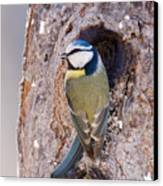 Blue Tit Leaving Nest Canvas Print by Cliff Norton