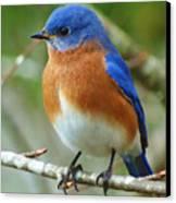 Bluebird On Branch Canvas Print by Crystal Joy Photography
