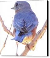 Bluebird On White Canvas Print