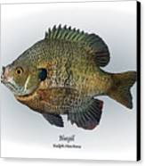 Bluegill Canvas Print by Ralph Martens