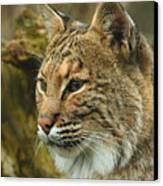Bobcat Canvas Print by Dick Wood
