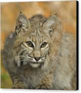 Bobcat Felis Rufus Canvas Print by Grambo Photography and Design Inc.