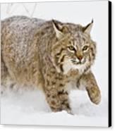 Bobcat In Snow Canvas Print