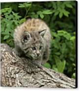 Bobcat Kitten Exploration Canvas Print by Sandra Bronstein