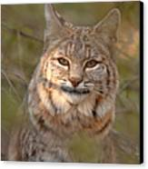 Bobcat Portrait Surrounded By Pine Canvas Print by Max Allen