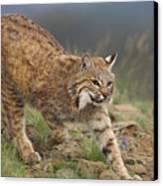 Bobcat Stalking North America Canvas Print by Tim Fitzharris