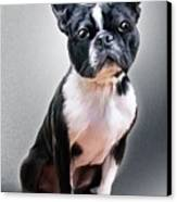 Boston Terrier By Spano Canvas Print