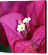 Bougainvillea Burst Canvas Print
