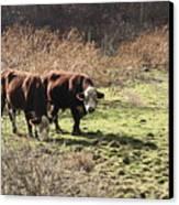 Bovine Pastures Canvas Print by B Rossitto