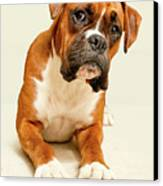 Boxer Dog On Ivory Backdrop Canvas Print by Danny Beattie Photography