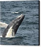 Breaching Humpback Whale Canvas Print by Jim  Calarese