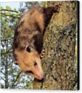 Brer Possum Canvas Print by David Sutter