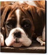 Brindle Boxer Pup Canvas Print by Bel Menpes