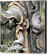 Bristlecone Pine - 'i Am Not Part Of History - History Is Part Of Me' Canvas Print