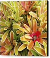 Bromeliad Brightness Canvas Print by Ron Dahlquist - Printscapes