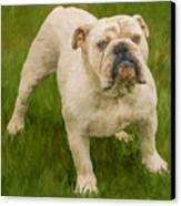 Bruce The Bulldog Canvas Print