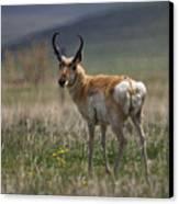 Buck Antelope  Canvas Print