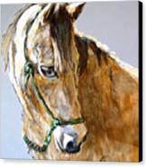 Buck Of The Morgan Horse Ranch Point Reyes National Seashore Canvas Print