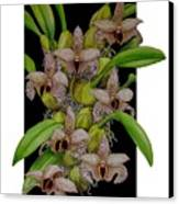 Bulbophyllum Sumatranum Canvas Print