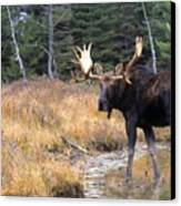 Bull Moose In Stream Canvas Print by Natural Selection Bill Byrne