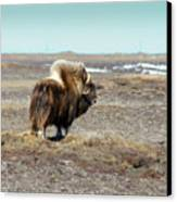 Bull Musk Ox Canvas Print