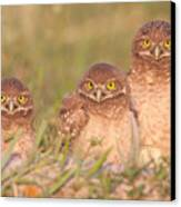Burrowing Owl Siblings Canvas Print by Clarence Holmes