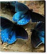 Butterfly Huddle At The Puddle Canvas Print by Randy Matthews