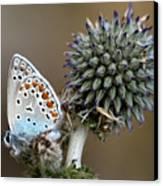 butterfly on a Echinops adenocaulon Canvas Print