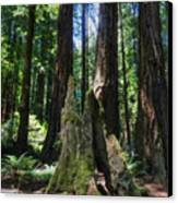 California - Muir Woods 006 Canvas Print by Lance Vaughn
